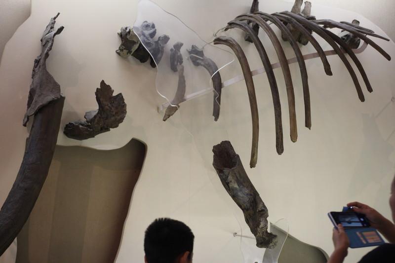 ナウマンゾウの化石